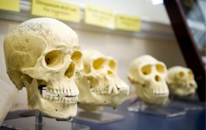 Decorative Image - Darwinism reflected by skulls showing human evolution rel to Capitalism and Free Markets